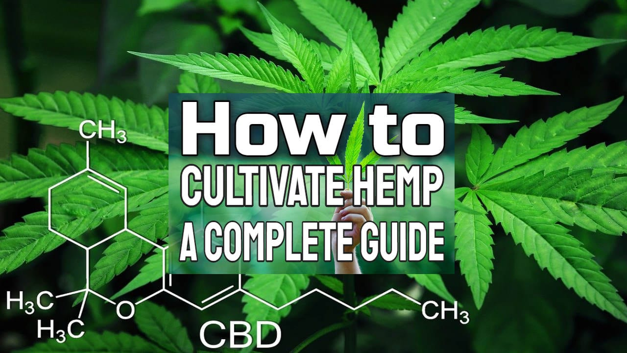 How to Cultivate Hemp – A Complete Guide Including Retting Hemp Stalk