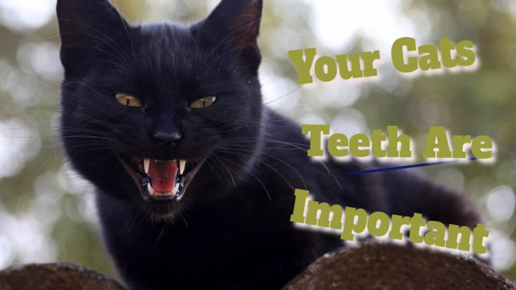 Your Cats Teeth Are Important (Part One)