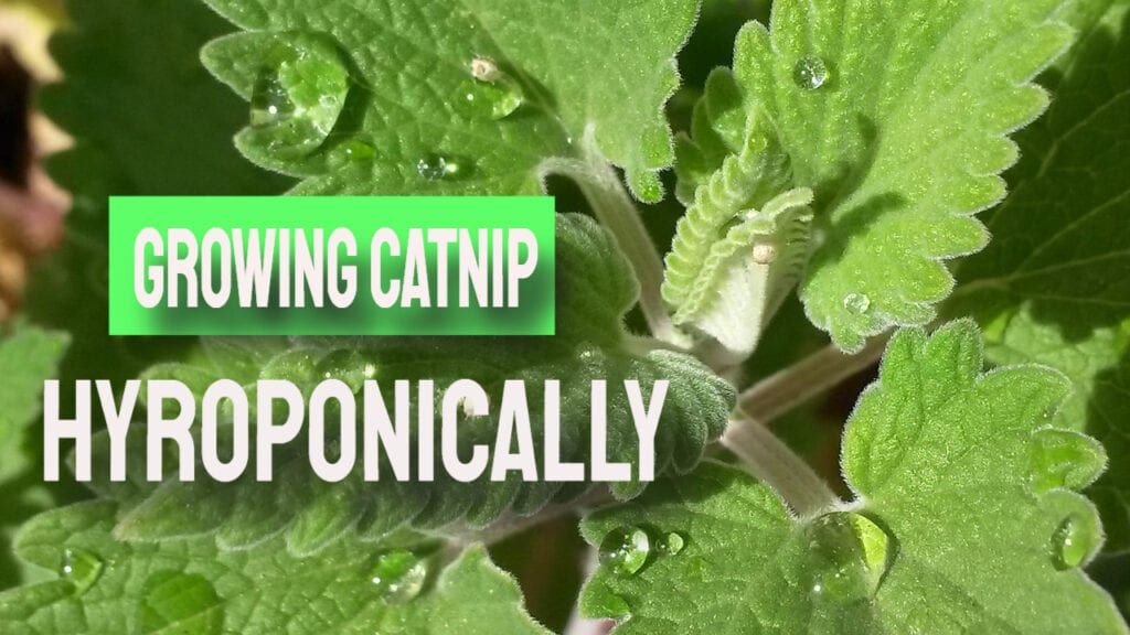 Growing Catnip Hydroponically And More