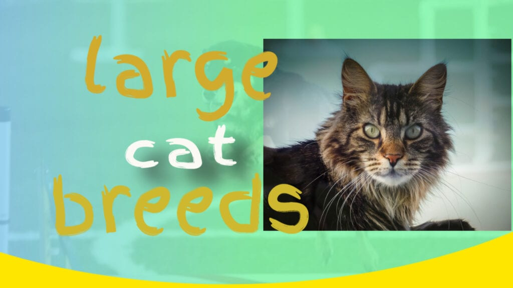 Magnificent Large Cat Breeds