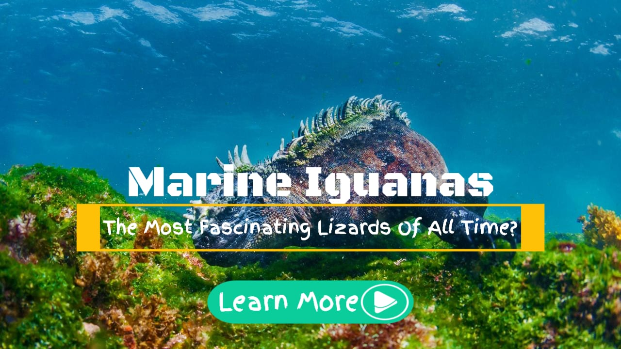 Marine Iguanas Diving For Algae
