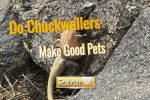 Do Chuckwallas Make Good Pets