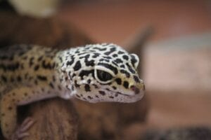 face of a tokay gecko