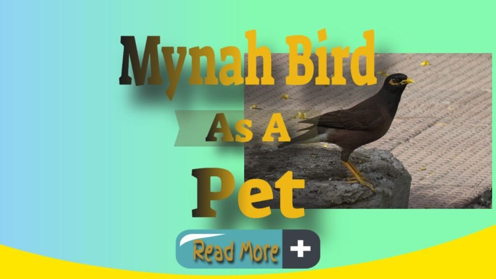 Mynah Bird As A Pet