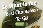 So What Is the Best Chameleon to Get For Home