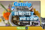 Traditional Health Benefits of Catnip