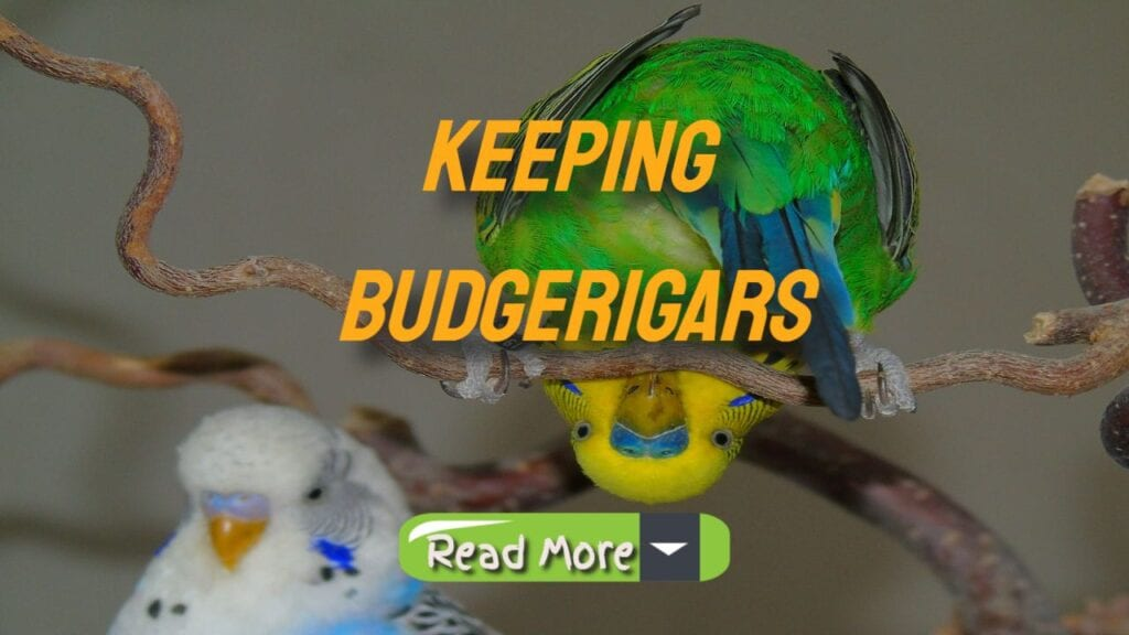 Keeping Budgerigars As Pets