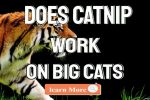 Does Catnip Work On Big Cats